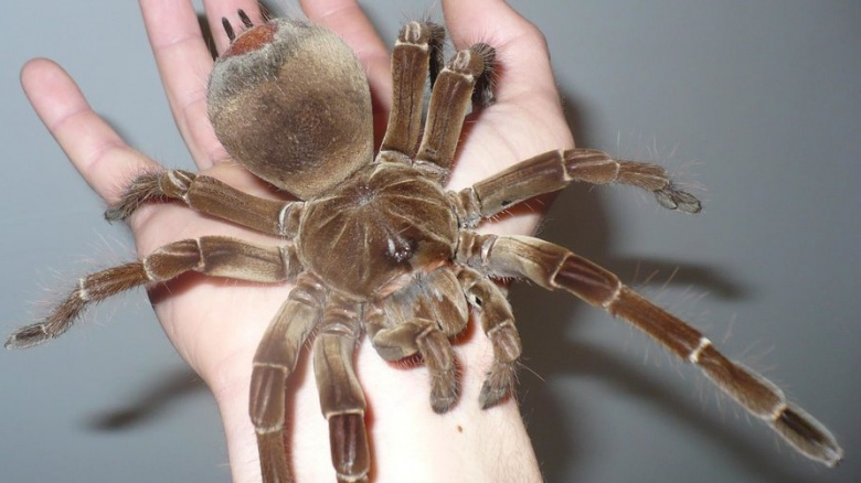 largest spider in the world - photo #28