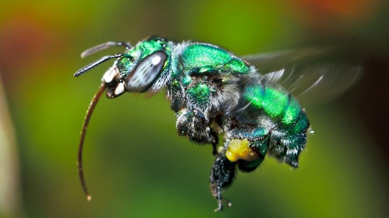 The orchid bee